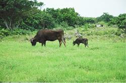 牧場での石垣牛