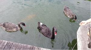 食欲旺盛な黒鳥